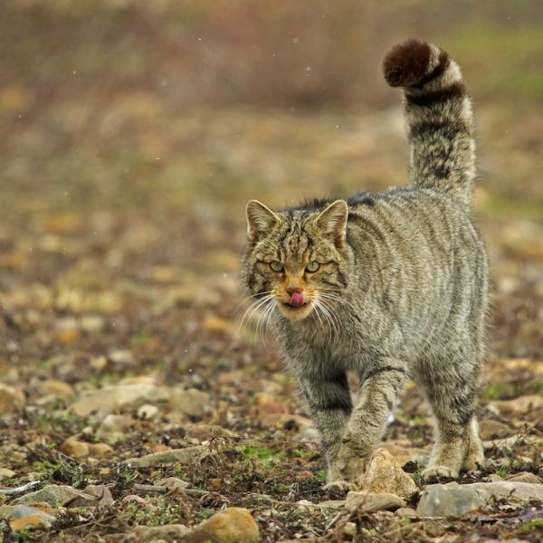 gato salvaje