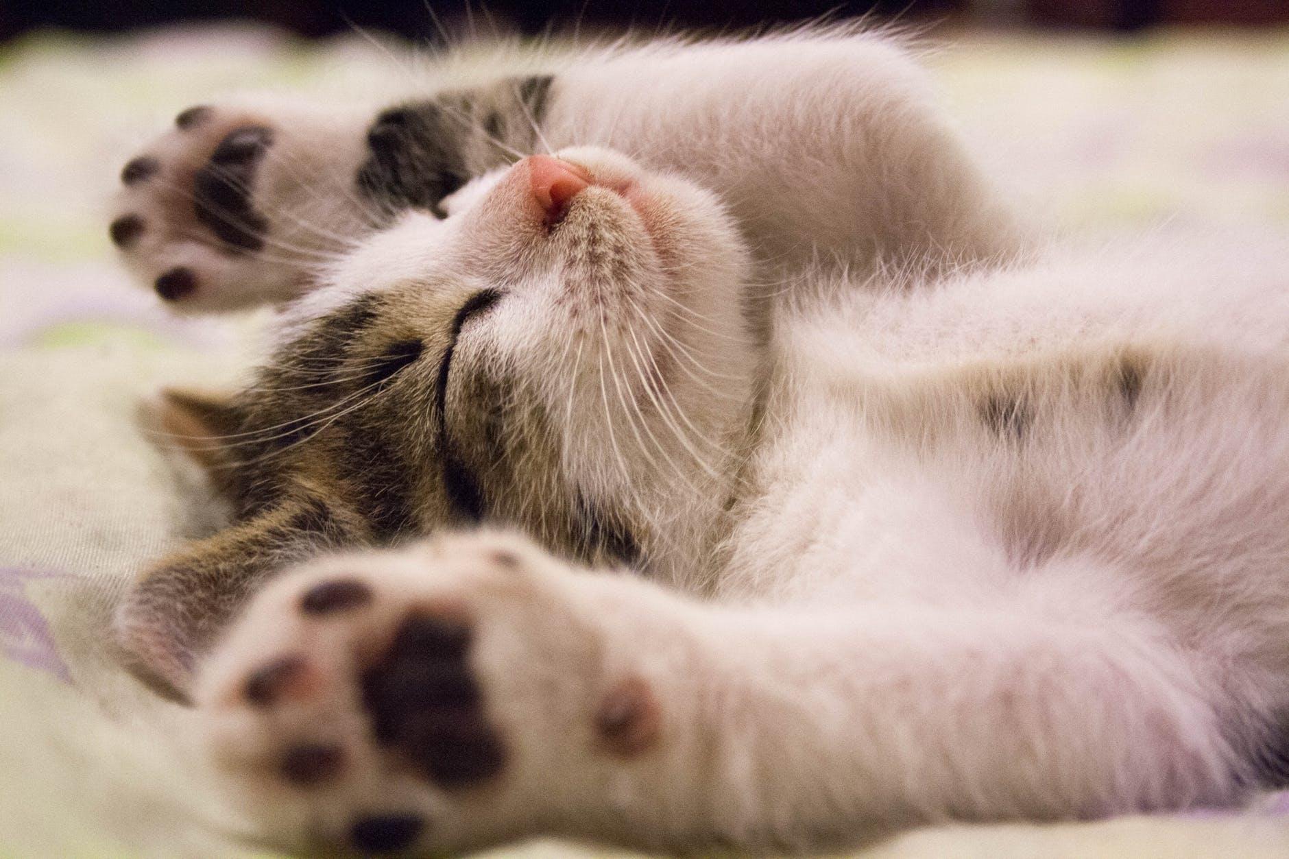 Las patitas de los gatos son poesía para los catlovers