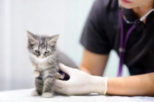 ¿Cómo cuidar a un bebé gatito?