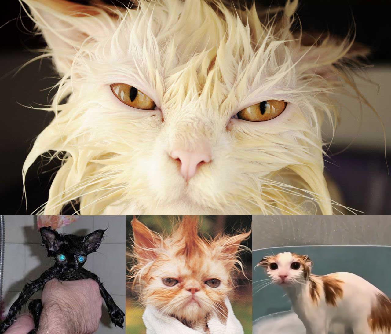 15 fotos de gatos mojados